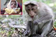 آگرہ میں بندر ماں سے بچہ چھین کر بھاگ نکلا، واپسی کی کوشش میں بچہ ہلاک