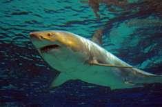 وہیل مچھلی نے غوطہ خور کو شارک سے بچا لیا