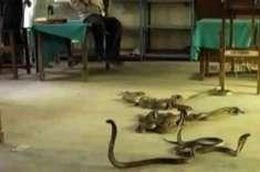 بھارتی ریاست مہاراشٹرا کے ایک سکول کے کچن سے درجنوں زہریلی سانپ نکل ..