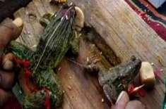 """مدھیا پردیش میں """"بارش کے خداؤں کو خوش کرنے کے لیے""""  مینڈکوں کی شادی .."""