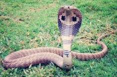 بھارتی شخص  نشے کے لیے کوبرا سانپ  کو اپنی زبان پر کٹواتا ہے