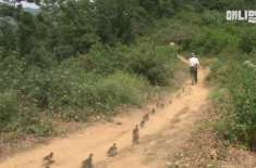 Man Raises Ducklings as His Children, Now They Follow Him Everywhere