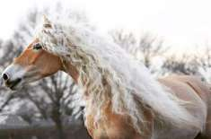 """Rapunzel of Horses"" Conquers Internet with Her Gorgeous Blonde Mane"