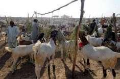 ایبٹ آباد سمیت ہزارہ ڈویژن میں عید قربان قریب آتے ہی قربانی کے جانوروں ..