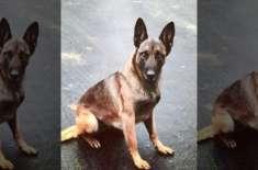 ایک مشتبہ شخص نے پولیس کے کتے کو دانتوں سے  کاٹا تو کتے نے جواب میں اس ..