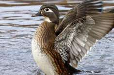 10 Wacky Facts About Ducks That Are Hard To Believe
