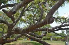دیمک سے بچانے کے لیے 700 سال پرانے درخت کو ڈرپ لگا دی گئیں