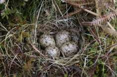 Girl Punished For Breaking Sandpiper Eggs By Superstitious Locals, Rescued