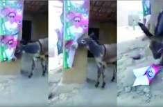 عمران خان نے لیگی کارکنان کو گدھا کہا تو گدھے بھی عمران خان سے ناراض ..
