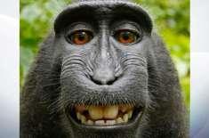 بندروں کو حقوق ملکیت نہیں دئیے جا سکتے۔ امریکی عدالت نے بندر کی مشہور ..