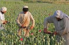 افغانستان میں رواں سال افیون کی کاشت میں کمی ہوئی،عالمی ادارہ انسدادمنشیات