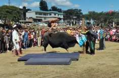 INDIAN VILLAGES USE BULL TO SHOWCASE HIGH JUMP SKILLS DURING ANNUAL FESTIVAL