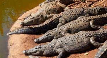 مبینہ محکمہ وائلڈ لائف کے عملہ کی جانب سے نایاب نسل کے مگرمچھوں کا شکار ..