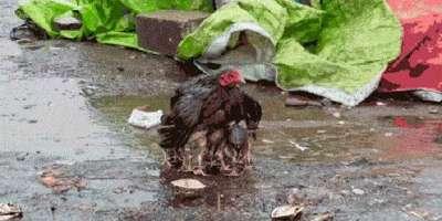 اپنے بچوں کو بارش سے محفوظ رکھتے ہوئے مرغی خود بری طرح بھیگ گئی۔ ویڈیو ..