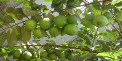 پاکستان میں امرودکازیرکاشت رقبہ66662ہیکٹرزاور پیداوار4لاکھ 95ہزار 229ٹن ..