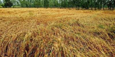 پاکستان دنیابھر میں گندم پیداکرنے والے ممالک میں ساتویں، کپاس میں ..