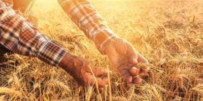 گندم پیدا کرنے والوں ممالک میں پاکستان ساتواں نمبر پر آگیا ، سالانہ ..