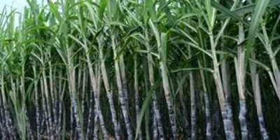 کماد کی تیار شدہ فصل سے فی ایکڑ زیادہ گنا اور چینی کا حصول بروقت کٹائی ..