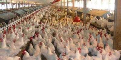 محکمہ لائیو سٹاک نے پہلے سے ذبح مرغی کے گوشت کی فروخت پر پابندی لگا ..