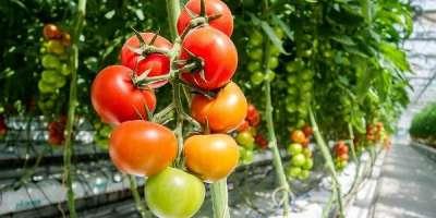 ٹماٹر کے پودے کو بہترین نشوونما کیلئے 14 سی30ڈگری سینٹی گریڈ درجہ حرارت ..
