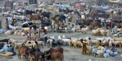 پشاور میں قربانی کیلئے مویشی منڈیوں میں رش بڑھ گیا'