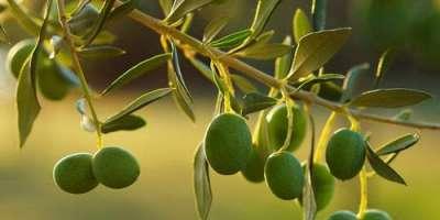 پاکستان میں زیتون کی پیداوار بڑھانے کے وسیع امکانات موجود ہیں، عبداللطیف ..