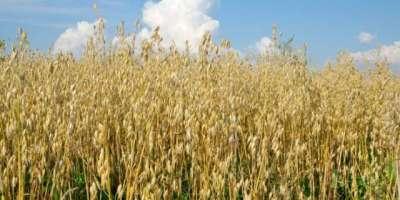 ارجنٹائن میں رواں مالی سال کے دوران گندم کی پیداوار میں کمی آنے کا ..