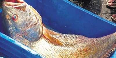 بھارت، غریب مچھیرے کی مچھلی ساڑھے 5 لاکھ روپے میں فروخت