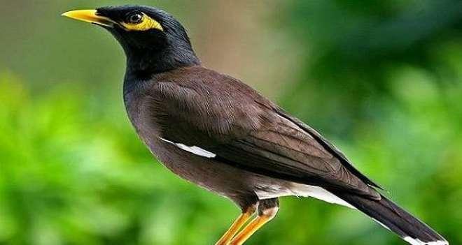 پاکستانی مینائوں میںٹریکومونوسِس کا انکشاف،دیگر پرندوں میں بھی منتقل ..