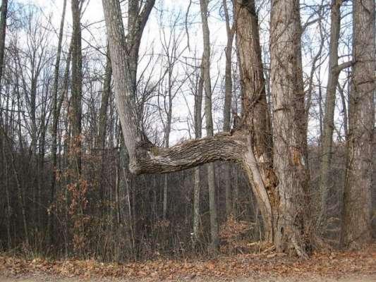 شمالی امریکہ کے پراسرارمڑے ہوئے درختوں کا اصل راز کیا ہے؟