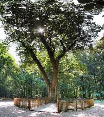 جرمنی محبوب کی تلاش میں مدد دینے والا 100 سال سے زائد پرانا درخت، جسے ..