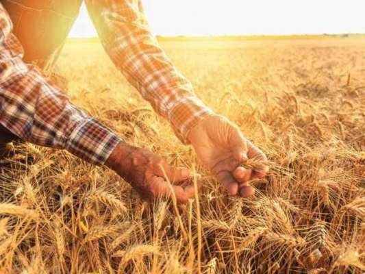 شہرکے گندم خریداری مراکز پر بار دانہ کی تقسیم و گندم وصولی کا عمل جاری ..