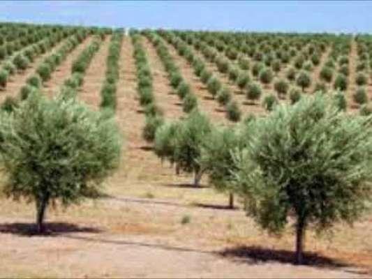خطہ پوٹھوہار میں منصوبہ کے تحت 2020ء تک زیتون کے 20 لاکھ پودے لگائے جائیں ..