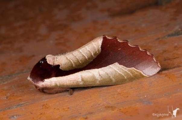 یہ سوکھا پتا اصل میں زندہ کیڑا ہے جو سوکھے پتے کی نقل کر رہا ہے