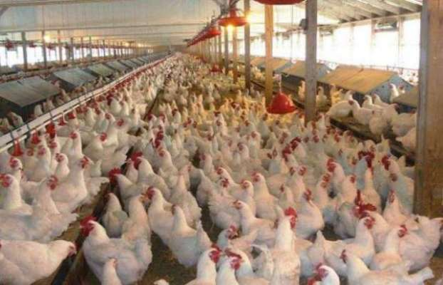 برائلر گوشت کی قیمت میں 3روپے فی کلو کمی