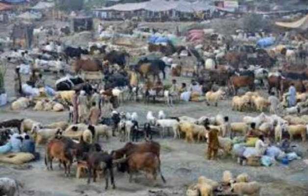 مویشی منڈیوں میں خریداروں کا رش بڑھنا شروع ہو گیا