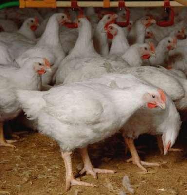 برائلر گوشت کی قیمت میں مزید 12روپے فی کلو اضافہ