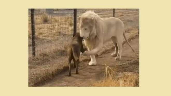 جنوبی افریقہ، شیر کا شکاری خود شیروں کا شکار بن گیا