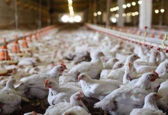 عدالت نے مرغی کے گوشت اور خوراک کی رپورٹ مثبت آنے پر از خود نوٹس کیس ..