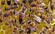 سائنسدانوں نے شہد کی مکھیوں سے کورونا کی تشخیص میں کامیابی حاصل کرلی