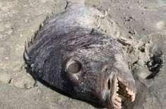 ایک ماں کو ساحل سمندر سے انسانوں کے جیسے دانتوں والی انوکھی مچھلی مل ..