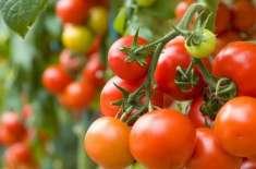 ٹماٹرکی نرسری20اکتوبر تک کاشت کی جائے،ترجمان محکمہ زراعت