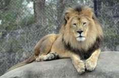 دبئی سے شیروں اور چیتوں کی لاہور چڑیا گھر آمد