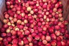 امریکی ریاست مشی گن میں چوروں نے سیبیوں کا باغ لوٹ لیا