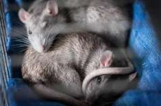 US Woman Lived With More Than 300 Rats In Van, Now They're Getting Homes
