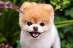 """دنیا کا حسین ترین کتا """"دل ٹوٹنے"""" سے چل بسا"""