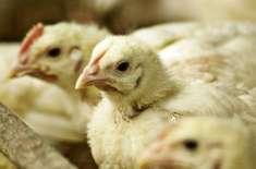 برائلر گوشت اور فارمی انڈوں کے نرخ