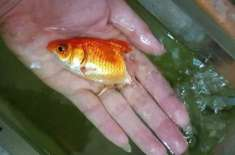Woman Claims She Nursed Pet Fish Back to Health After Half Its Body Rotted Away