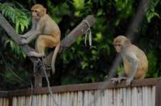 سعودی عرب میں بندروں نے گرلز اسکول پرہلّہ بول دیا