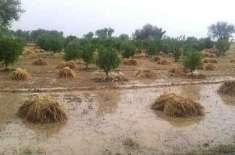 بارشیں اور ژالہ باری پنجاب میں 2لاکھ ٹن گندم ضائع ہوگئی